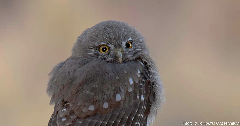 pygmy_owl_01_Tompkins