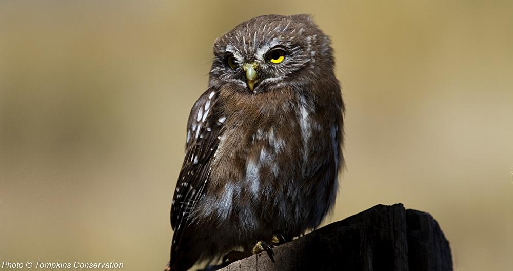 pygmy_owl_2_Tompkins