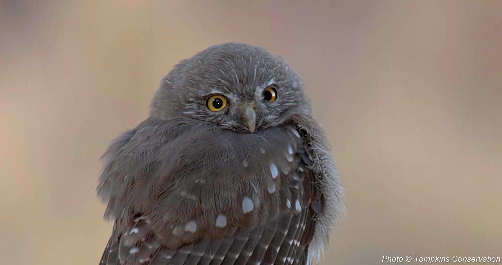 tompkins_owl-1