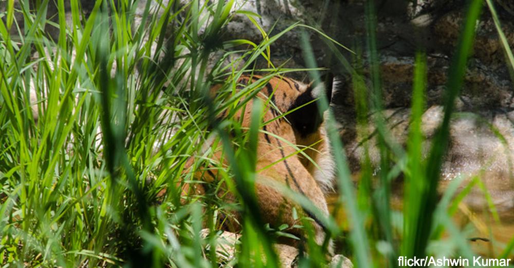 vietnam-tiger0
