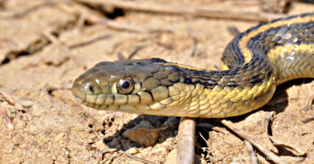 Illinois researchers are investigating ways to combat snake fungal disease.