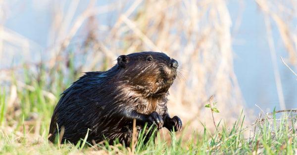 beaver-boys2