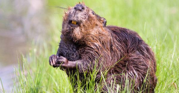 beaver-boys3
