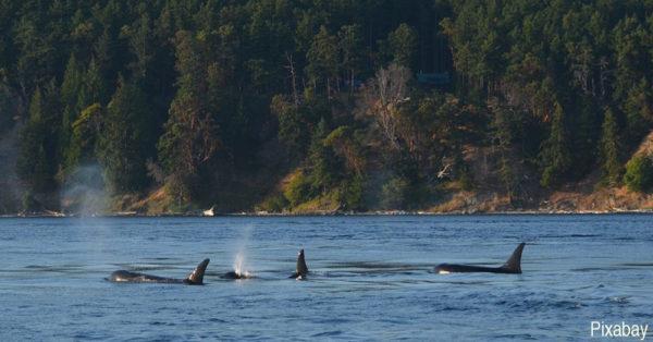 A pod of orcas.