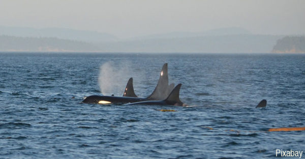 Orcas breach the surface for air.