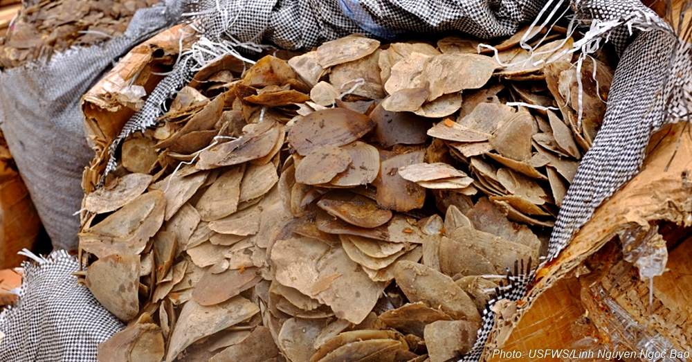 A frightening quantity of pangolin scales seized from the black market