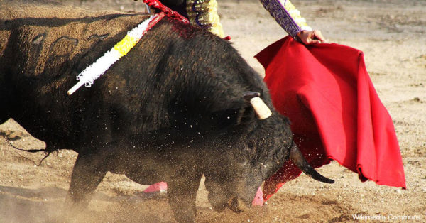 The antagonized bull is stabbed repeatedly in the back with knives.