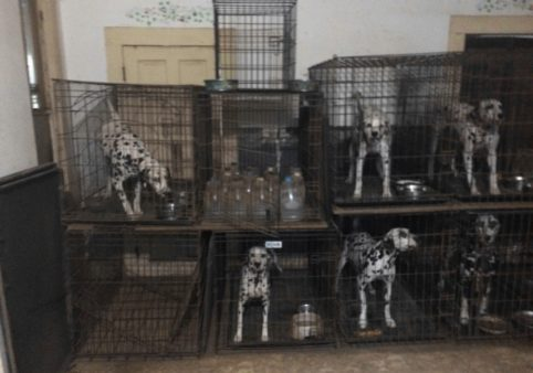 Jack and Dorothy Foreman were fined by the state after operating an unlicensed breeding facility. Dalmatians were found housed in stacked wire crates in dirty, cluttered rooms. The facility is now state licensed.(Texas Dept of Licensing and Regulation, October 2015).