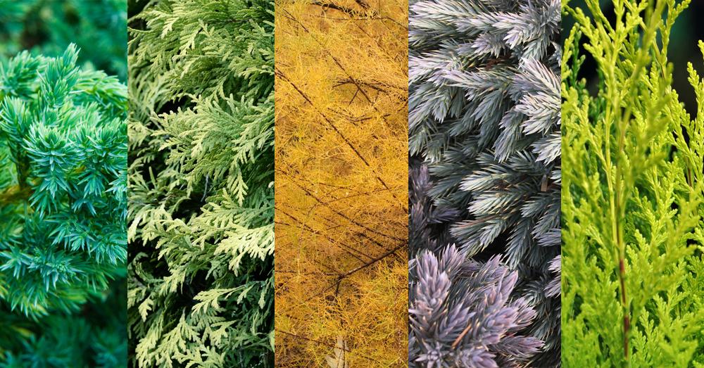 juniper color changing