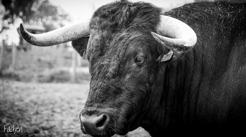 facebook/Fadjen, Bull anti bullfighting