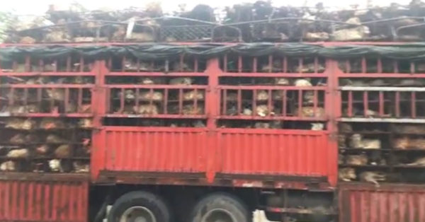 Source: HSUS At least 1,300 animals were forced into the cramped quarters of the truck.