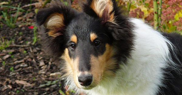 dog-markings-tri-color