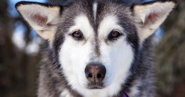husky-abandonment4
