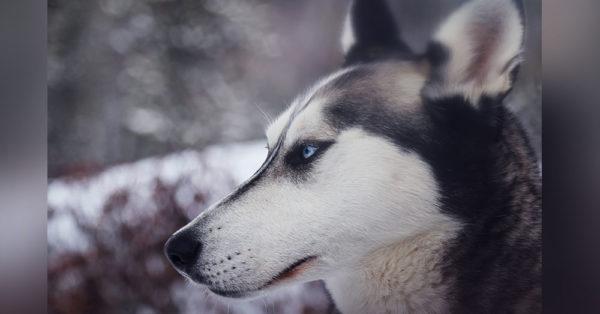 husky-abandonment5