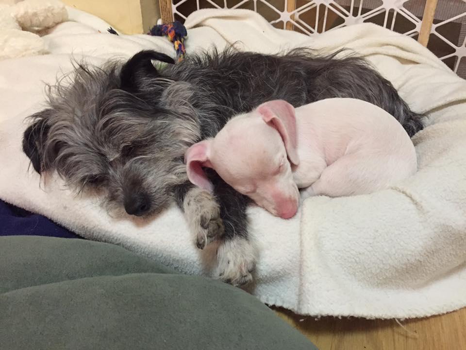 facebook/Piglet, the deaf blind pink puppy.