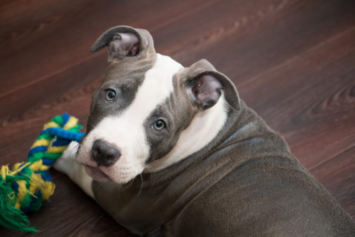 White and Grey Pitbull laying down with colored toy. American Staffordshire terrier puppy
