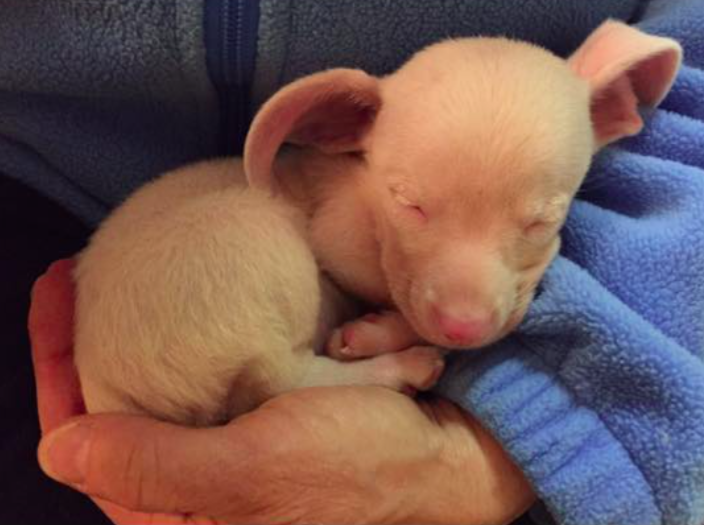 facebook/Piglet, the deaf blind pink puppy.