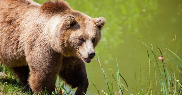 handsome-bear