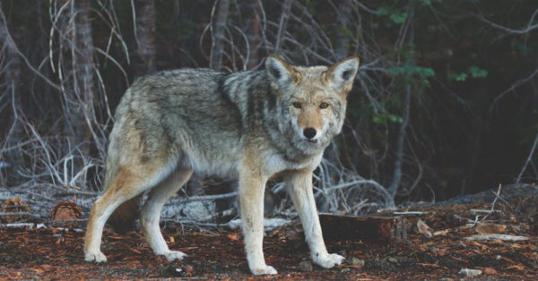 handsome-coyote