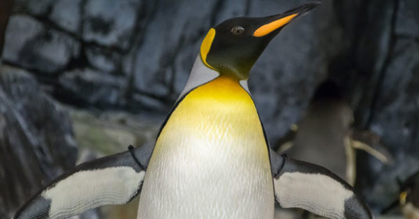 handsome-penguin