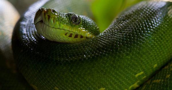 handsome-snake