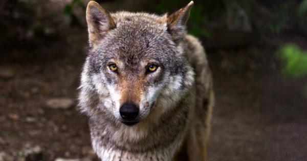 handsome-wolf