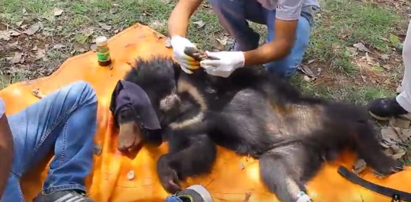 Checking the bear cub.  (Photo courtesy of Wildlife SOS/YouTube)