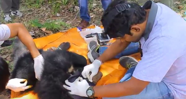 Assessing the wounds.  (Photo courtesy of Wildlife SOS/YouTube)
