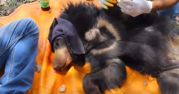The bear cub under sedation.  (Photo courtesy of Wildlife SOS/YouTube)