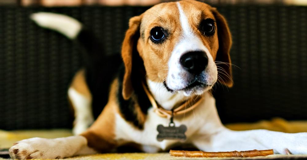 beagle-quiz-1