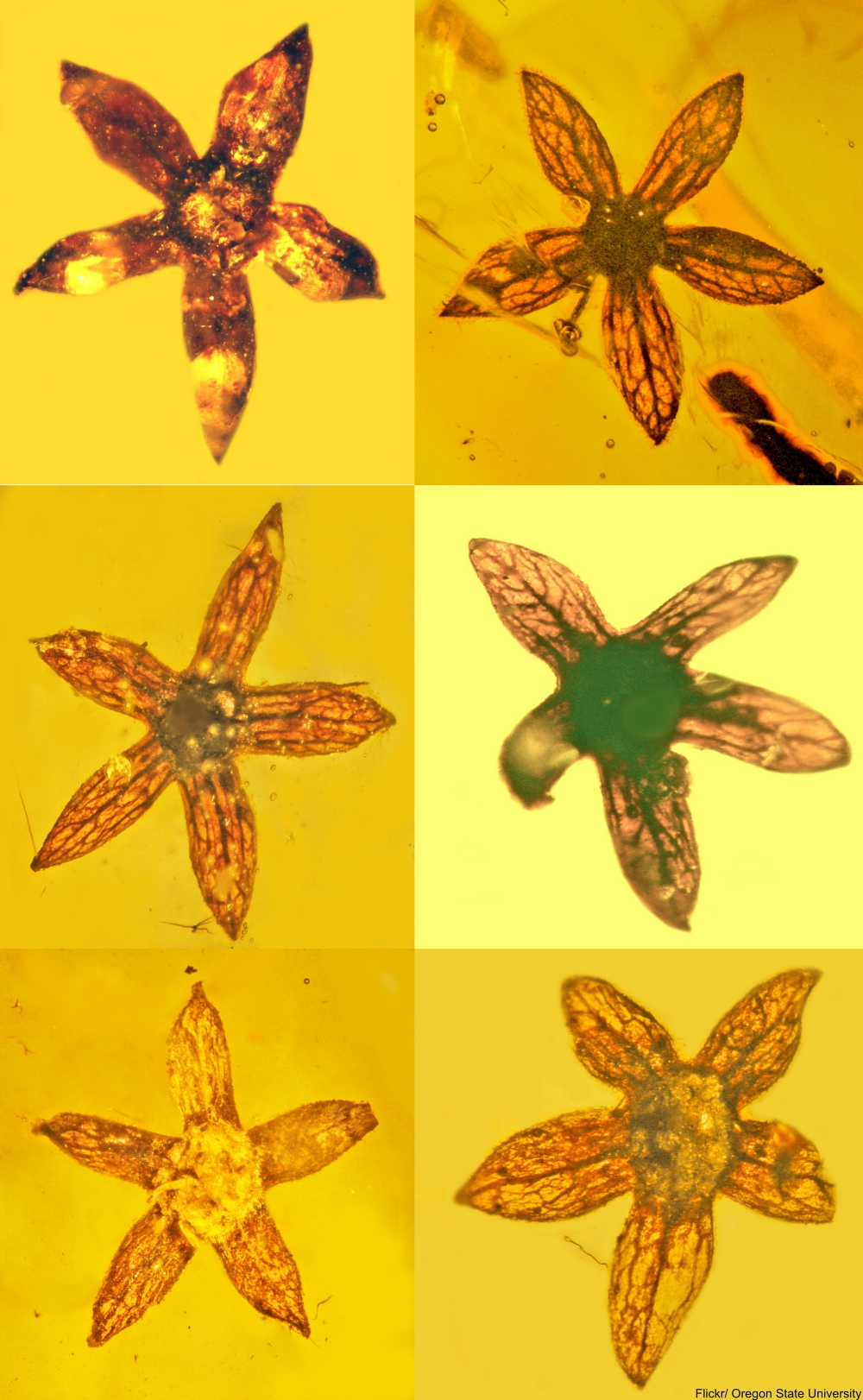 100 Million Year Old Flowers Found Perfectly Preserved in Amber