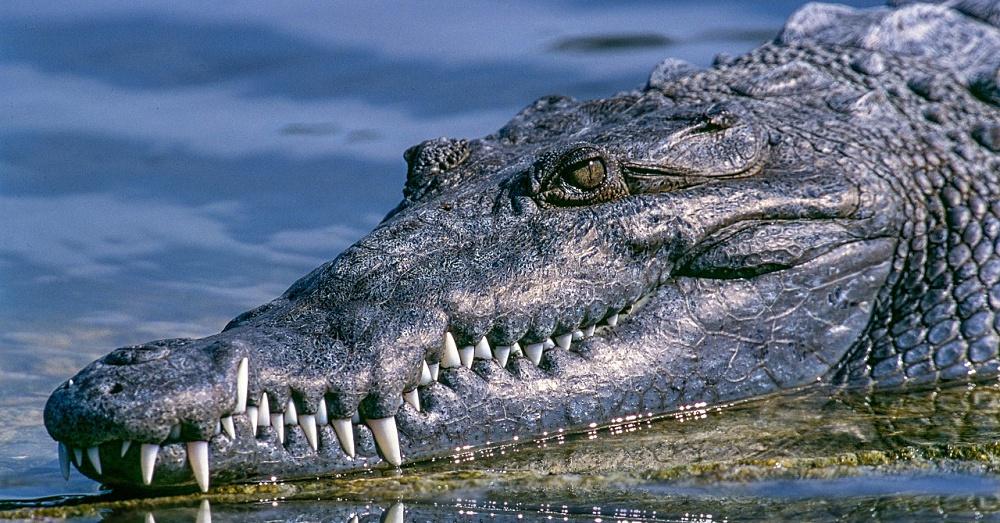 Alligator1_1000x523