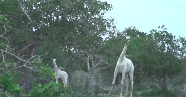 YouTube - Hirola Conservation
