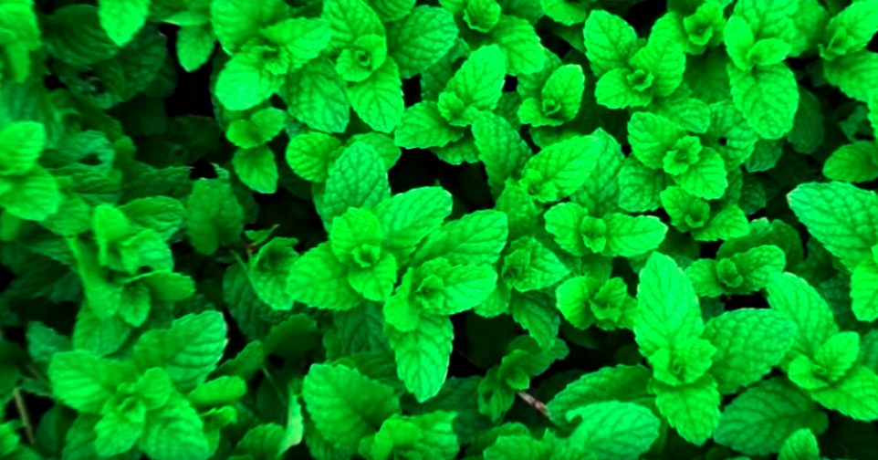 top-5-tips-to-increase-mint-growth-in-your-garden-1