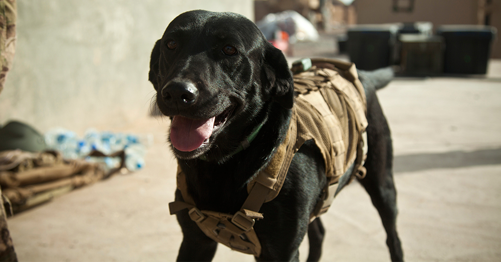 Photo: U.S. Marine Corps/Sgt. Pete Thibodeau -- Paris, a coalition force military working dog, in Afghanistan.