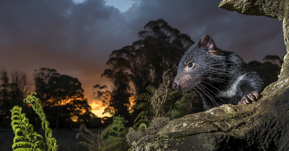 Photo: David Stowe Photography -- A Tasmanian Devil photographed at dusk.