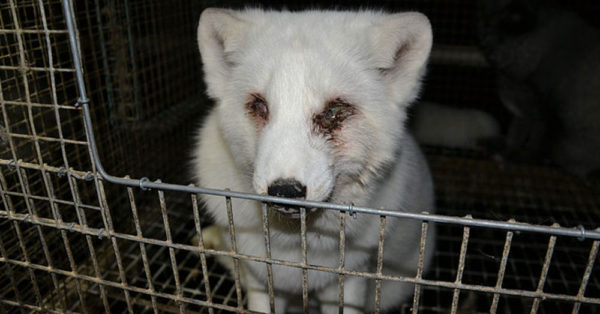 Source: Wikimedia Commons A fur farming operation in Finland.
