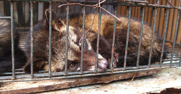 Source: Wikimedia Commons A luwak (civet cat), being raised for fur.