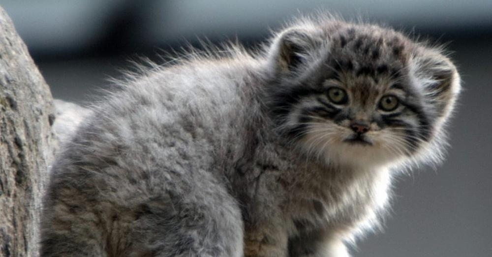 Kitten2_1000x523