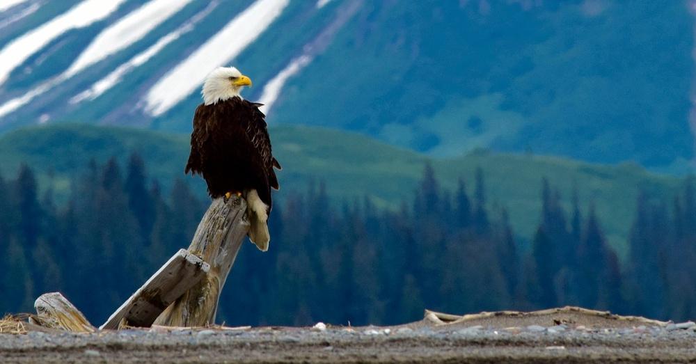 bald-eagle-saved