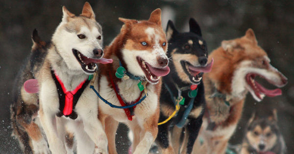 Source: Wikimedia Commons Sled dogs in the Iditarod race.