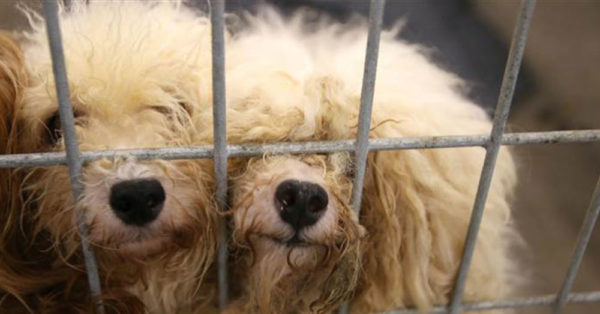 Source: Facebook/SPCA of Texas Dogs from the puppy mill.