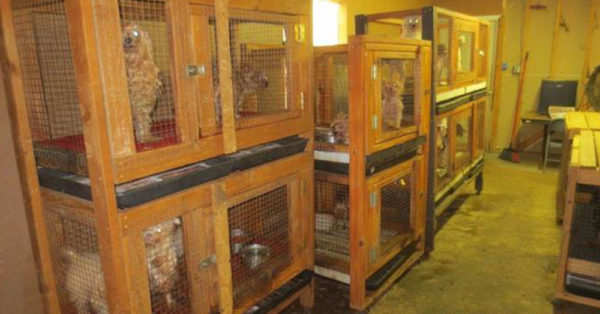 Source: Facebook/SPCA of Texas Animals caged up in the puppy mill.