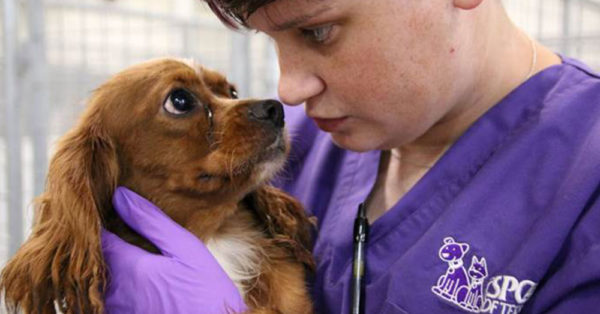 Source: Facebook/SPCA of Texas An SPCA of Texas staff member examines one of the dogs rescued from the puppy mill.