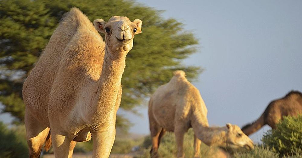 Camel2_1000x523