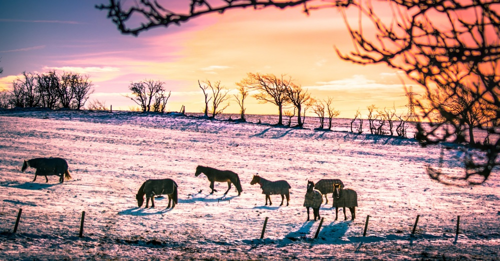 Herd of Horses in Snow
