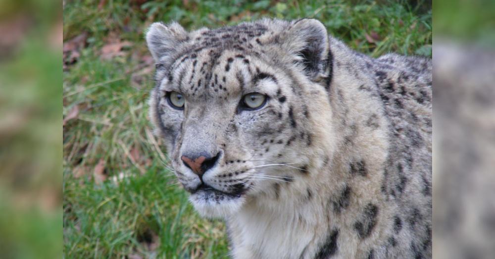 Leopard1_1000x523