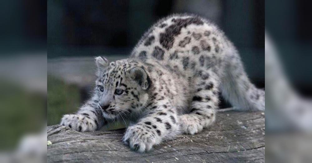 Leopard2_1000x523