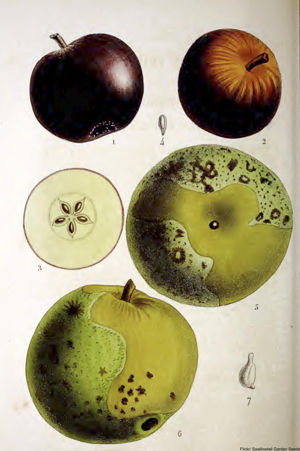 heirloom apple varieties