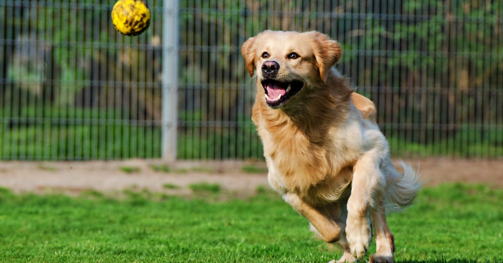 golden-retriever-yellow-ball